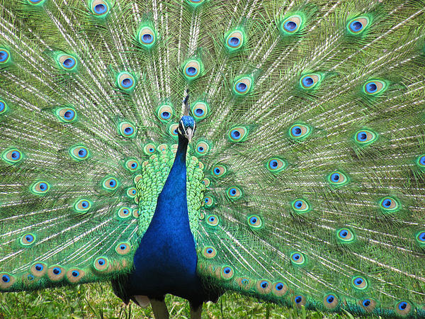 Peacock Photograph - Proud Peacock by Bonnie Muir