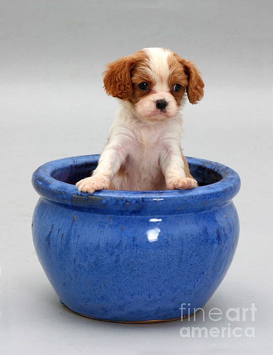 Animal Photograph - Puppy In A Pot by Jane Burton