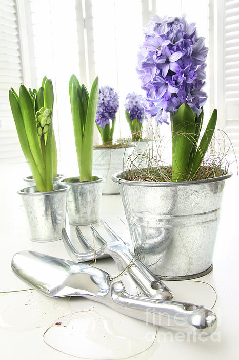 Background Photograph - Purple Hyacinths On Table With Sun-filled Windows  by Sandra Cunningham