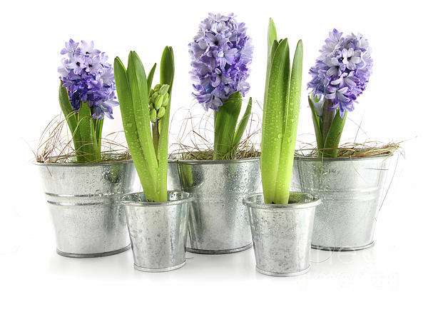 Background Photograph - Purple Hyacinths by Sandra Cunningham