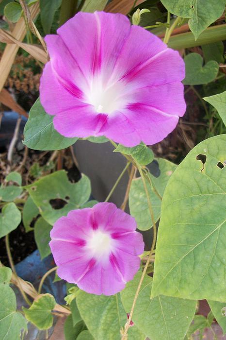 Botanical Photograph - Purple Morning Glory by Russ Bertlow