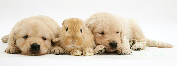 Lop Rabbit Photograph - Rabbit And Puppies by Jane Burton