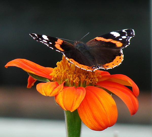 Red Admiral Photograph - Red Admiral by Nicola Butt