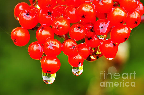 Sumac Photograph - Red Berries And Raindrops by Thomas R Fletcher