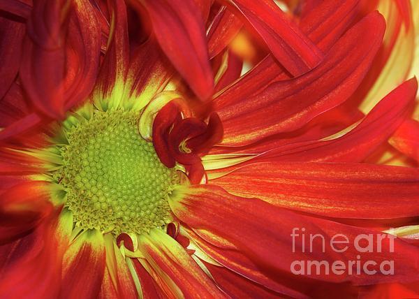 Daisy Photograph - Red Daisy Too by Sabrina L Ryan