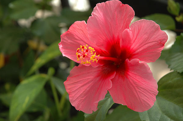 Flower Photograph - Red Hibiscus by Jerry McElroy