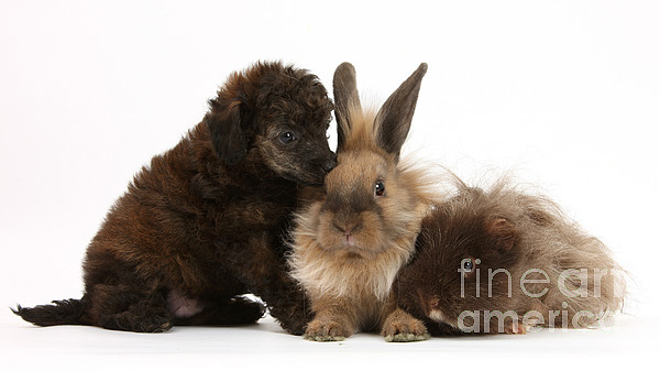 Nature Photograph - Red Merle Toy Poodle Pup, Guinea Pig by Mark Taylor