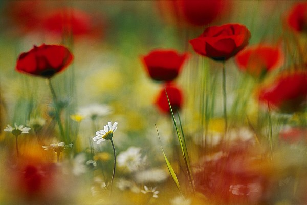 Poppy Photograph - Red Poppies And Small Daisies Bloom by Annie Griffiths