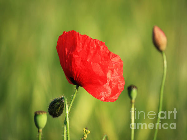 Poppy Photograph - Red Poppy In Field by Pixel Chimp