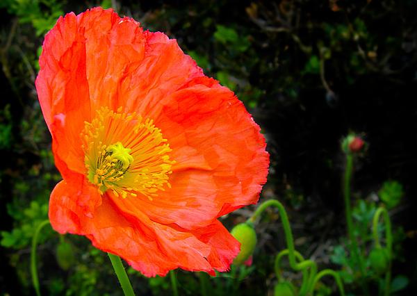 Poppy Photograph - Red Poppy by Natalya Shvetsky