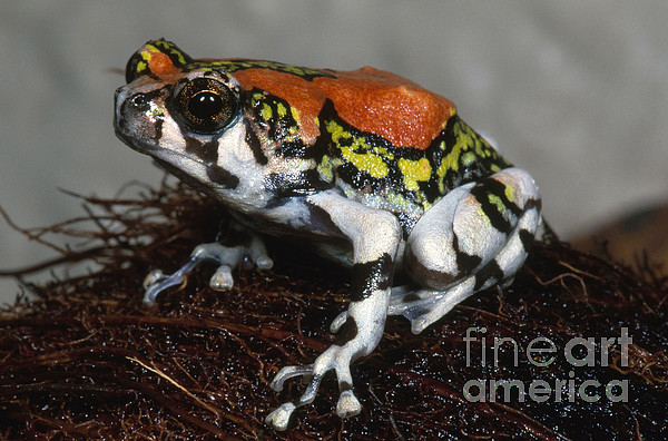 Fauna Photograph - Red Rain Frog by Dante Fenolio