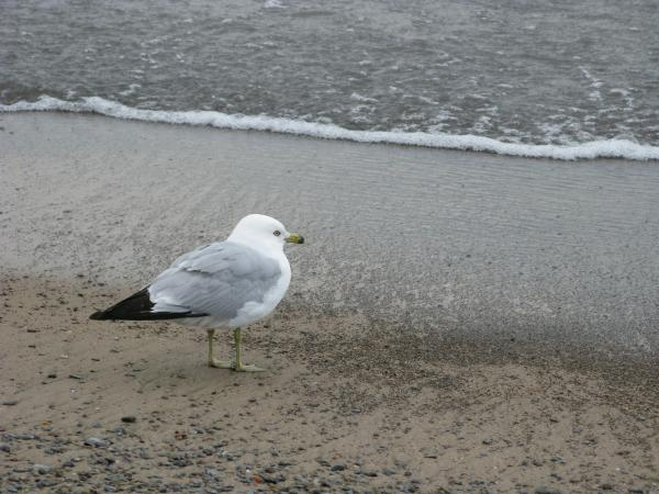 Ring-billed Gull Photograph - Ring-billed Gull by Ann Horn