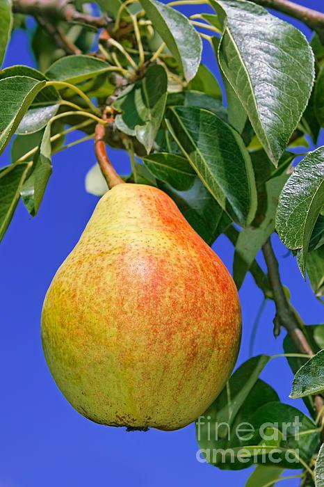 Pear Relief - Ripe Pear by Volodymyr Chaban