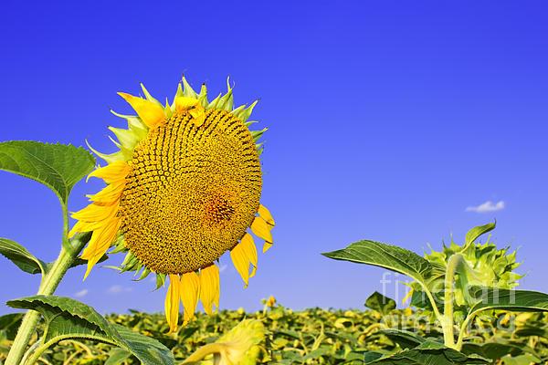 Sunflower Photograph - Ripening Sunflower Head  by Volodymyr Chaban