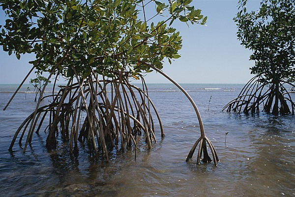 Plant Physiology Photograph - Root Legs Of Red Mangroves Extend by Medford Taylor