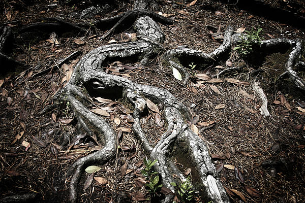 Tree Photograph - Roots by Shane Rees