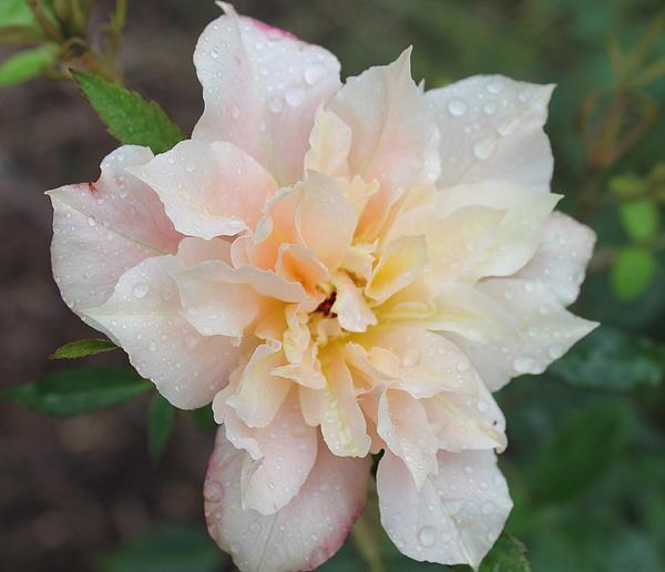 Sorbet Rose Photograph - Rose by Glenn Lawrence