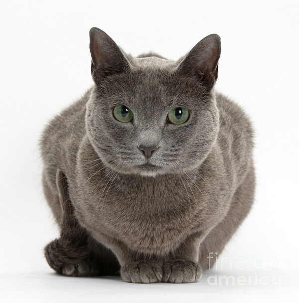 Nature Photograph - Russian Blue Cat by Mark Taylor