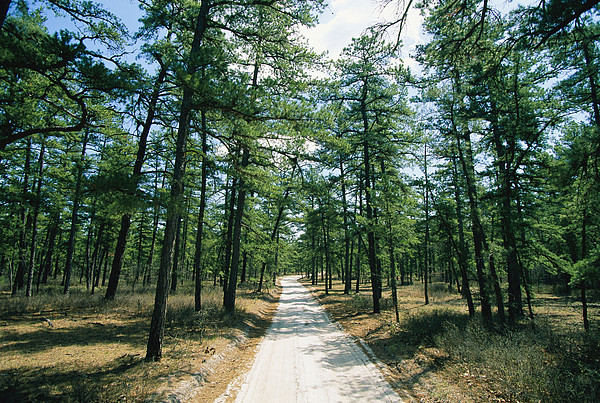 Roads Photograph - Sand Road Through The Pine Barrens, New by Skip Brown