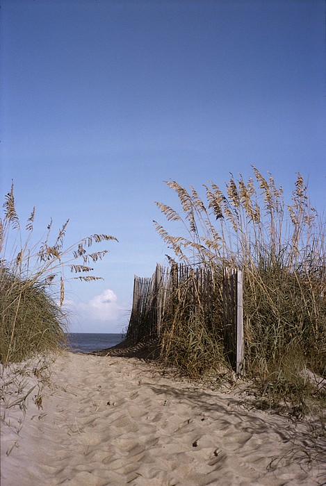 Plants Photograph - Sea Oats Line The Path by Taylor S. Kennedy