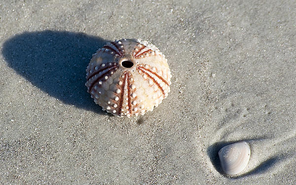 Beach Photograph - Sea Urchin And Shell by Kenneth Albin