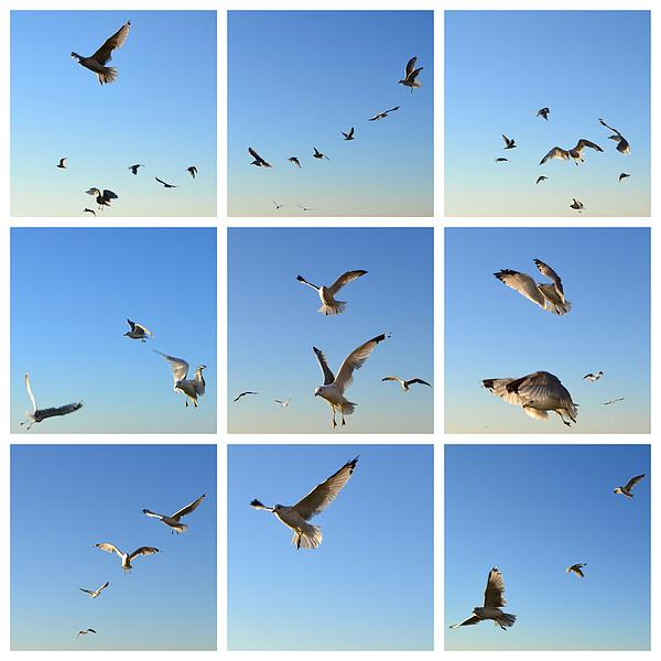 Seagull Photograph - Seagull Collage 2 by Michelle Calkins