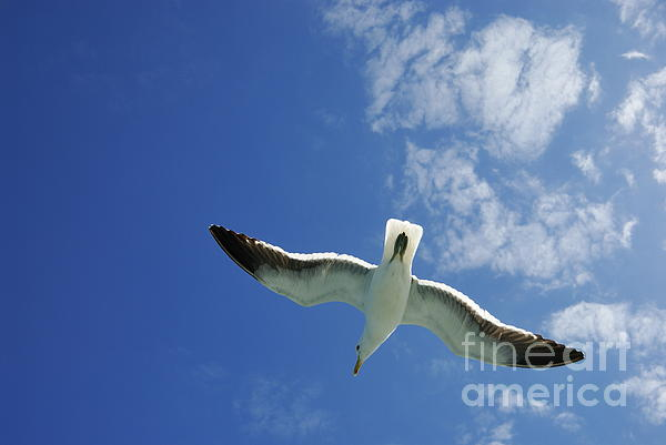 Freedom Photograph - Seagull Flying In The Sky On Blue Sky by Sami Sarkis