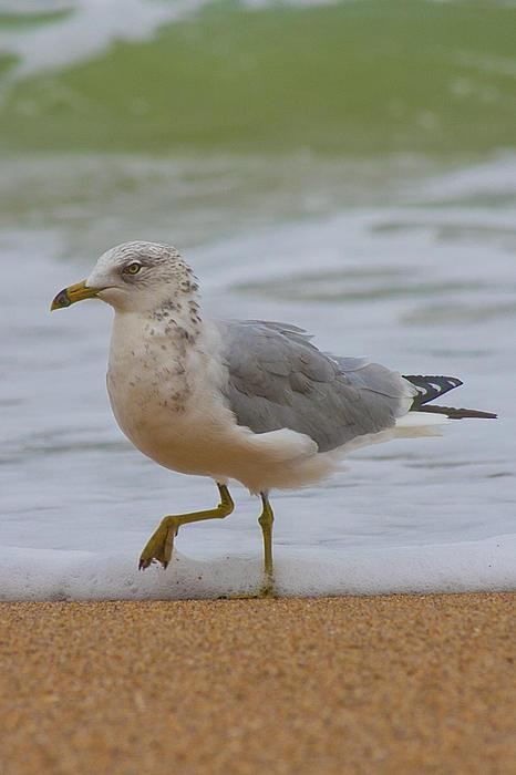 Sea Photograph - Seagull Stomp by Betsy Knapp