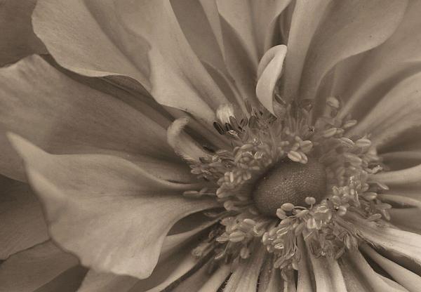 Sepia Photograph - Sepia Floral by Kristin Elmquist
