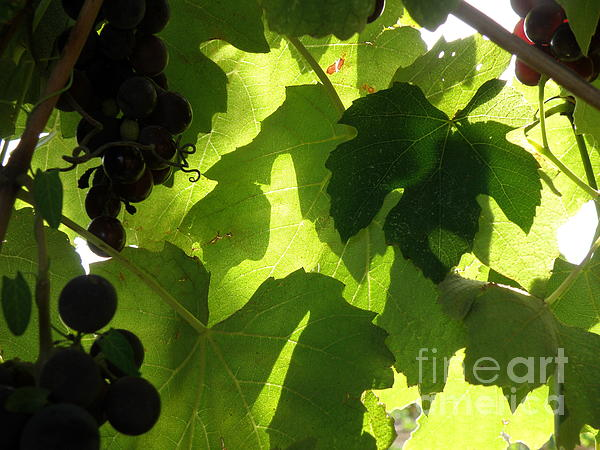 Grapes Photograph - Shadow Dancing Grapes by Lainie Wrightson