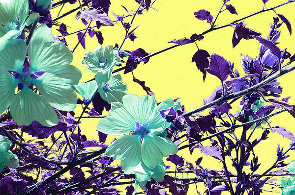 Purple Photograph - Sharons Cousin  by Pamela Patch