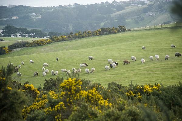 Outside Photograph - Sheep Graze On The Otago Peninsula by Bill Hatcher