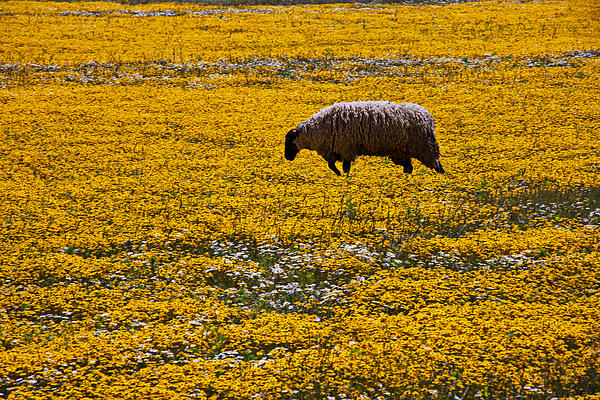 Sheep Photograph - Sheep In Meadow Of Golden Flowers by Garry Gay