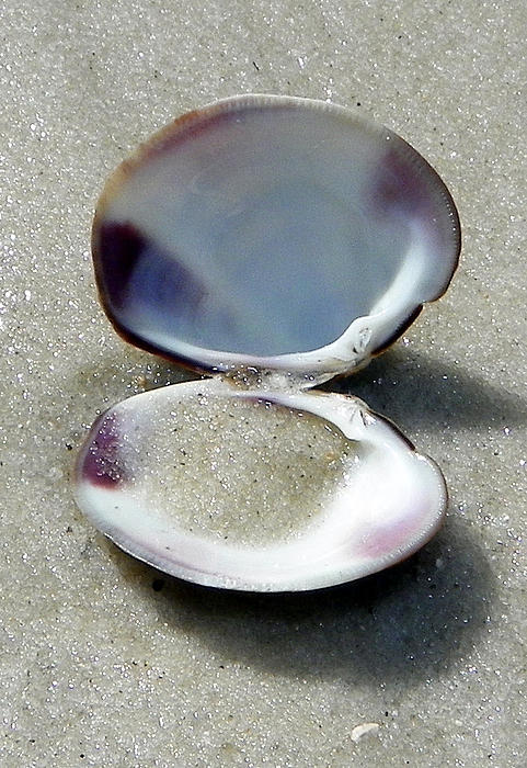 Clam Photograph - Shell And Sand by Sheri McLeroy