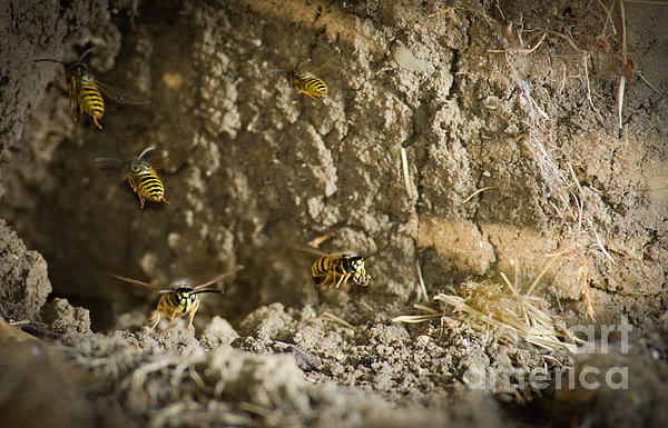 Yellow-jacket Photograph - Shift Change Yellow-jacket Wasps Flying Out To Forage As Others Return To The Nest by Andy Smy