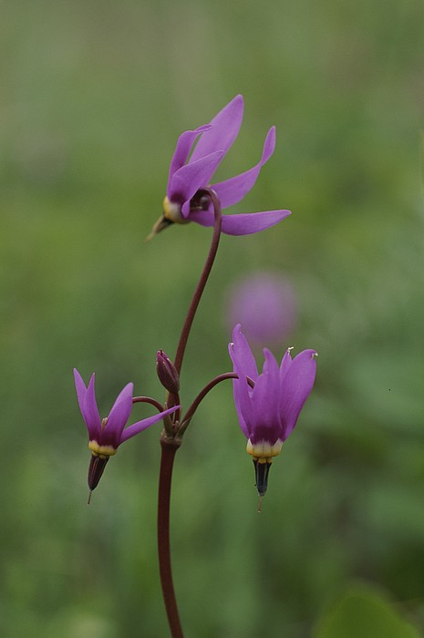 Plants Photograph - Shooting Star Wildflowers, Close View by Norbert Rosing