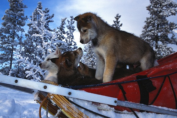 Outdoor Photograph - Siberian Husky Puppies Play On A Snow by Nick Norman