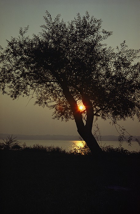 Silhouettes Photograph - Silhouette Of Willow Tree At Sunset by Al Petteway