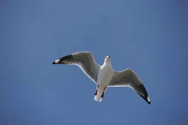 Australia Photograph - Silver Gull In Flight by Jason Edwards