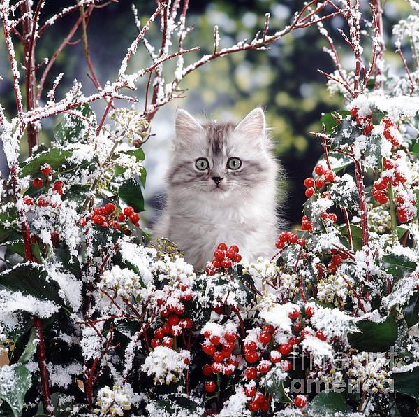 Animal Photograph - Silver Tabby Kitten by Jane Burton