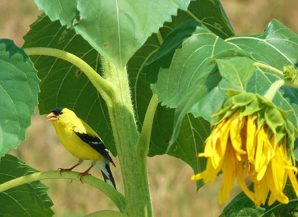 Bird Photograph - Sing For Me by Jeanette Oberholtzer