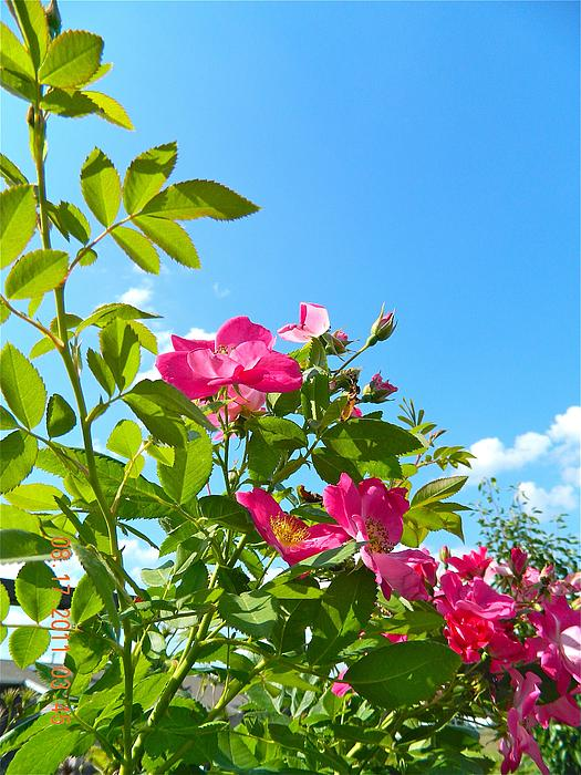 Vines Photograph - Skyward Roses by Randy Rosenberger