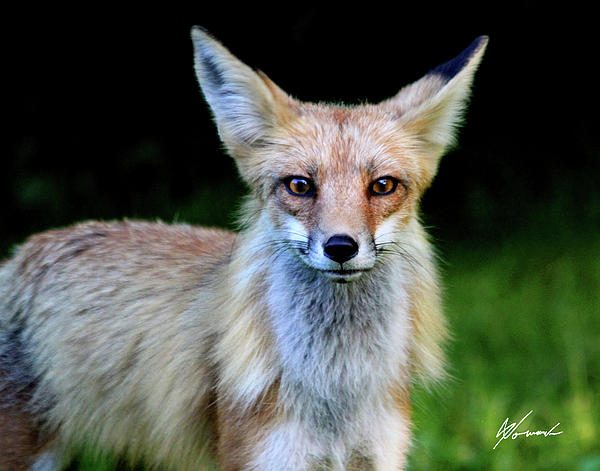 Fox Photograph - Sly by Sarah  Lalonde