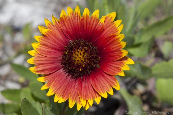Flower Photograph - Smiles by Charles Warren