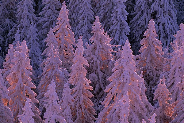 Germany Photograph - Snow Blanketed Fir Trees In Germanys by Norbert Rosing