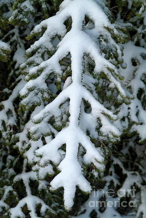Branch Photograph - Snowy Fir Tree by Sami Sarkis