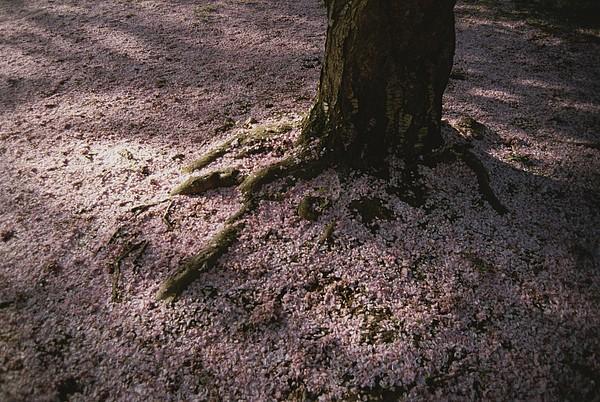 Plants Photograph - Soft Light On A Pink Carpet Of Fallen by Stephen St. John