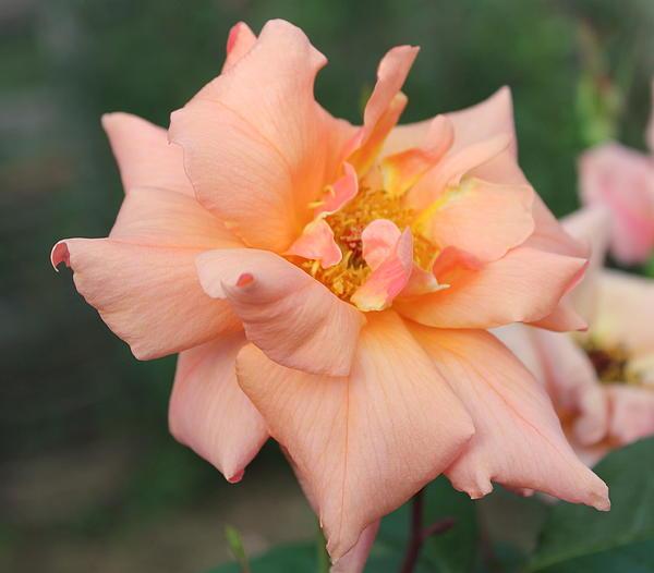 Sorbet Rose 2  Photograph by Glenn Lawrence