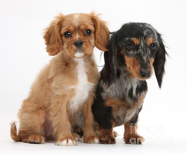 Animal Photograph - Spaniel & Dachshund Puppies by Mark Taylor