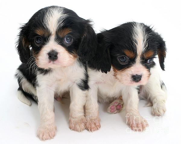 Animal Photograph - Spaniel Puppies by Jane Burton